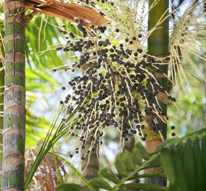 Acai ягоды из амазонки